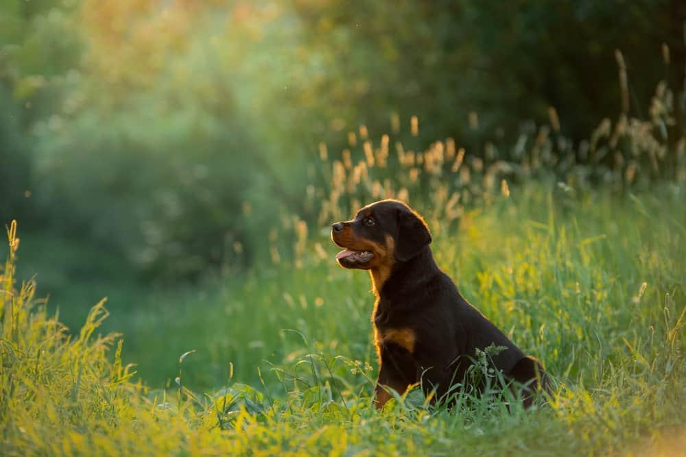rottweiler puppy in a field